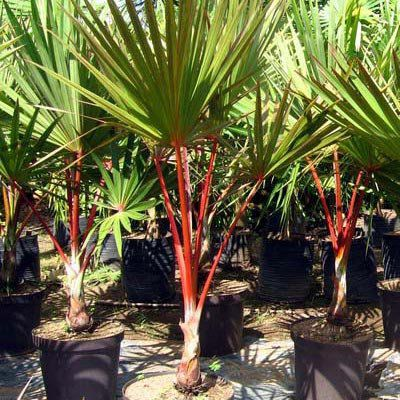 Muda da Palmeira Latânia Rubra - Com 1 metro - Raríssima!