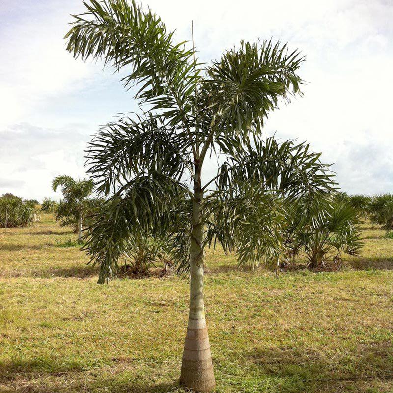 Muda da Palmeira Rabo de Raposa Grande - Wodyetia Bifurcata