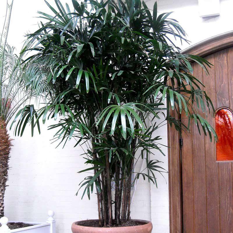 Muda da Palmeira Ráfia - Rhapis Excelsa