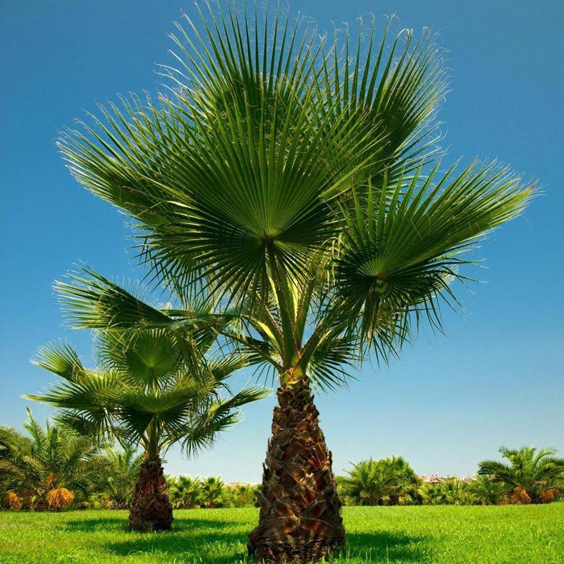 Muda da Palmeira Washingtonia