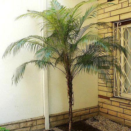 Muda da Palmeira Wedeliana - Lytocaryum Weddellianum