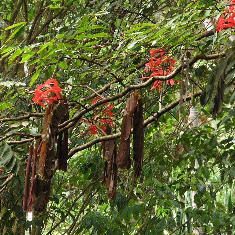 Muda da Rainha das Árvores - Amherstia Nobilis