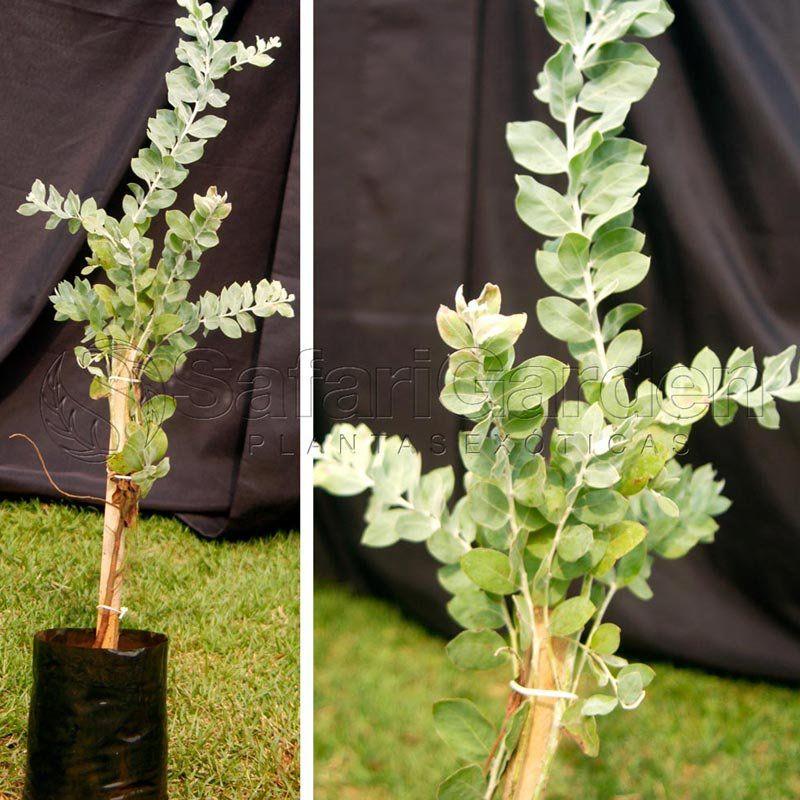 Muda de Acácia Mimosa - Acacia Podalyriifolia