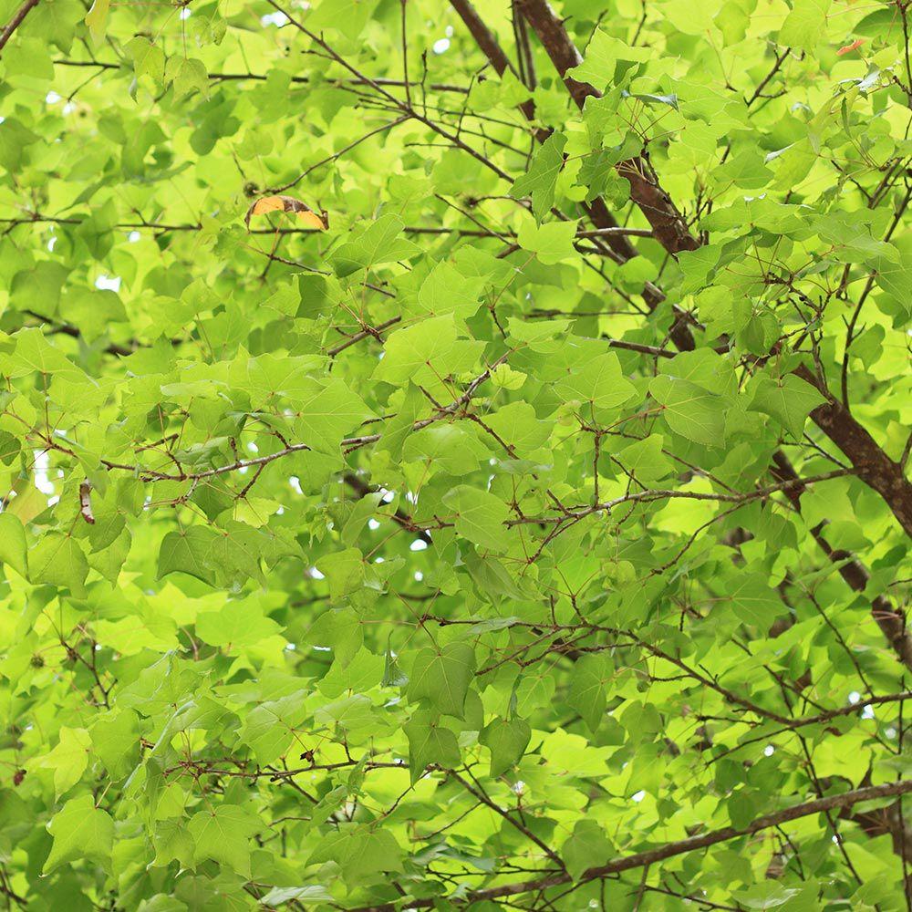 Muda de Acer Tridente ou Kaede