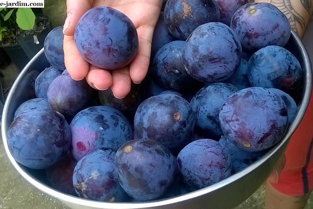 Muda de Ameixa da Austrália - Frutífera Rara