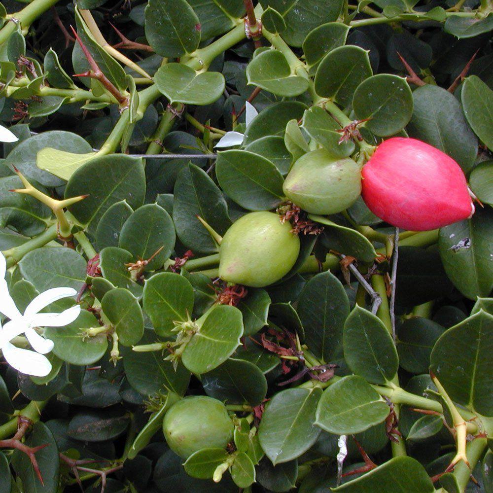 Muda de Ameixa de Natal ou Ameixa Africana - Carissa Macrocarpa