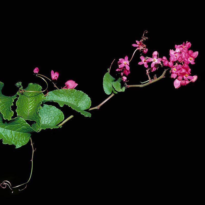 Muda de Amor Agarradinho Rosa - Antigonon Leptopus