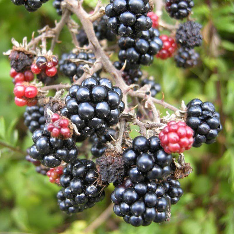 Muda de Amora do Ébano - Rubus Fruticosus