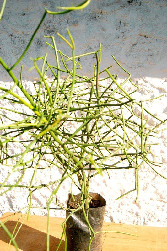 Muda de Aveloz ou Avelós - Euphorbia Tirucalli