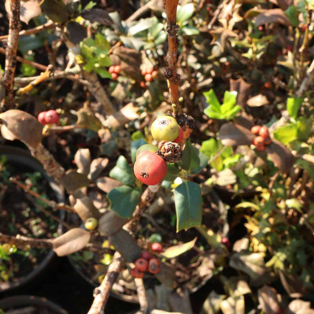 Muda de Azevinho Verdadeiro - Arbusto de Natal