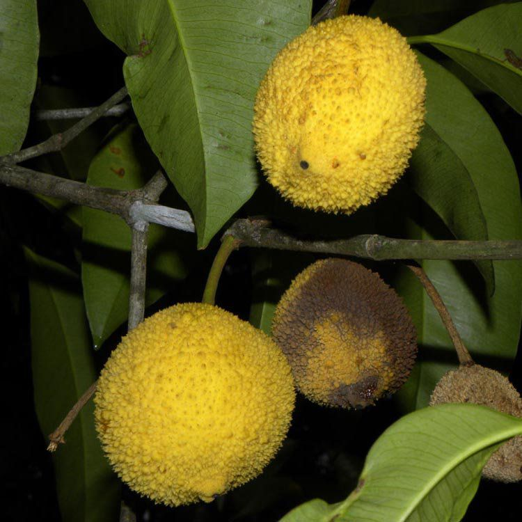 Muda de Madruno ou Bacuripari - Garcinia madruno