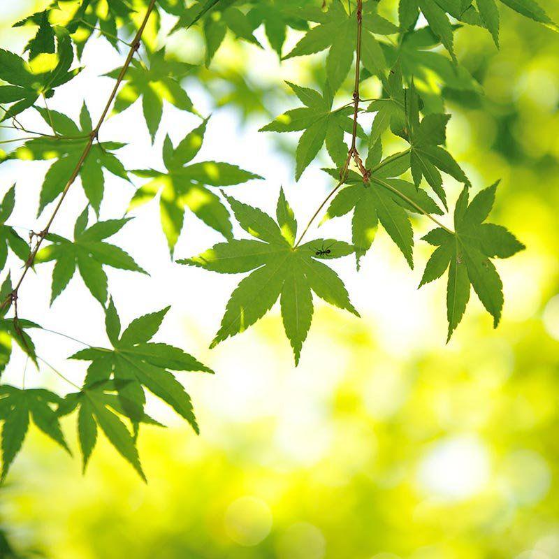 Muda de Bordo Japonês - Acer Palmatum