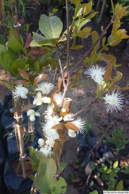 Muda de Cagaita (Eugenia dysenterica)