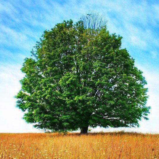 Muda de Carvalho Vermelho - Quercus Robur