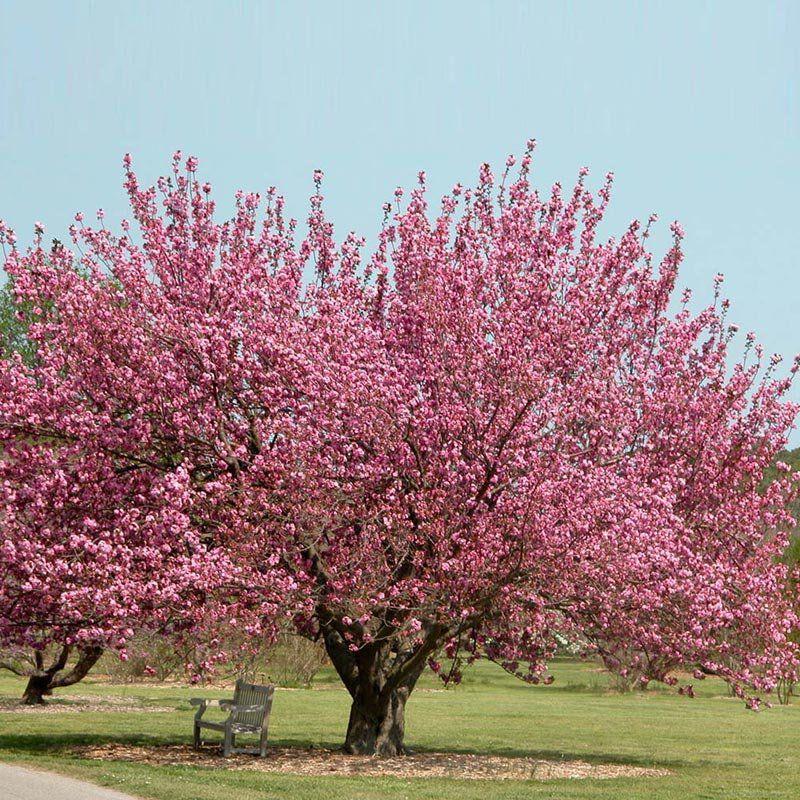 Muda de Cerejeira Japonesa Ornamental Sakura Rosa