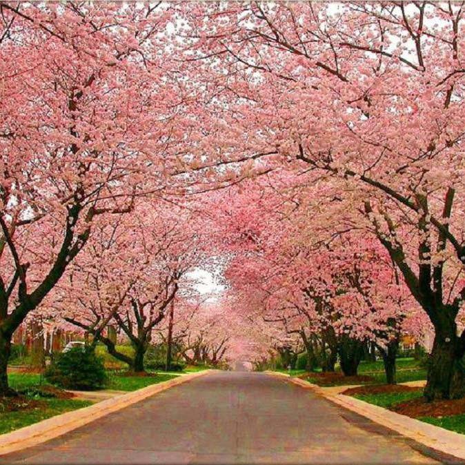 Muda de Cerejeira Japonesa Ornamental Sakura Salmão