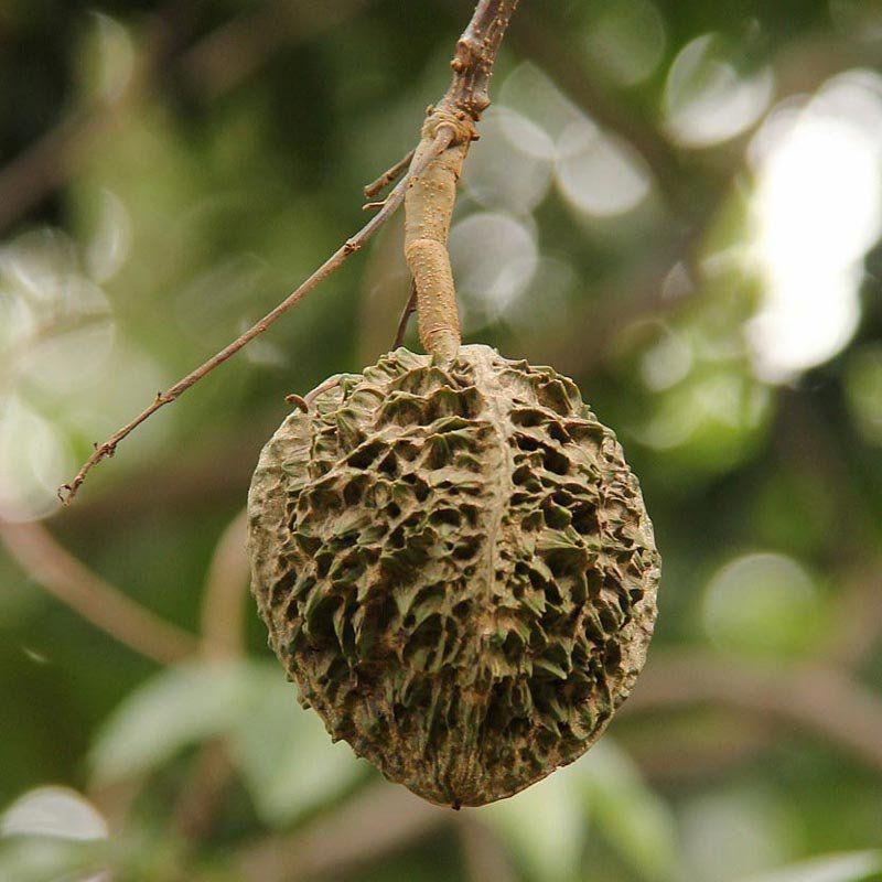 Muda de Cotieira - Fruta da Arara