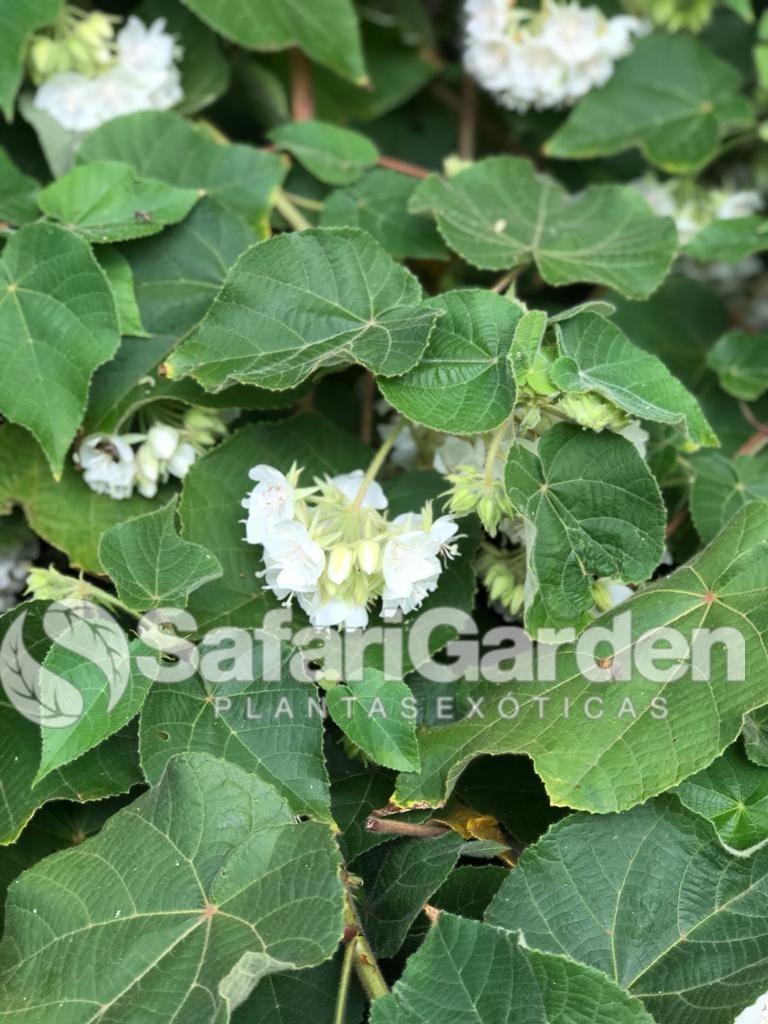 Muda de Dombéia ou Astrapéia Branca - Planta Melífera