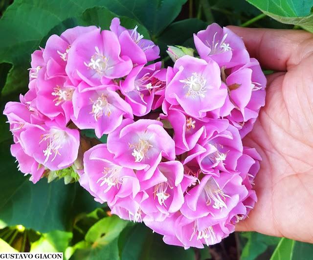 Muda de Dombéia ou Astrapéia Rosa - Planta Melífera