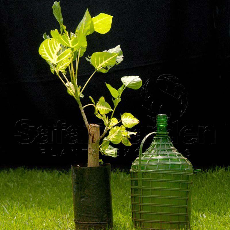 Muda de Eritrina Verde e Amarela Brasileirinha - Erythrina Indica Picta
