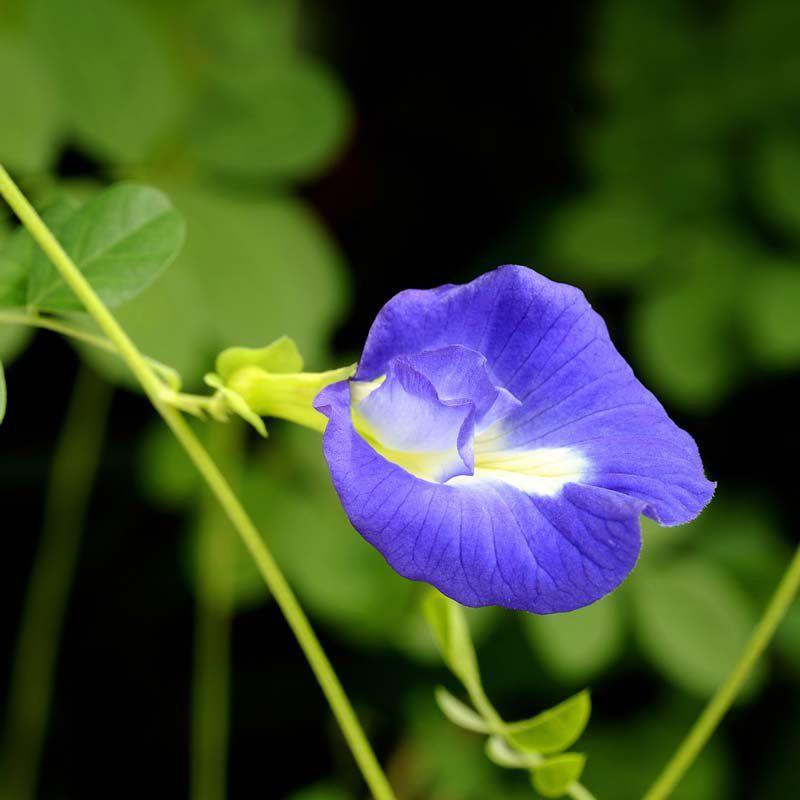 Muda de Ervilha Borboleta Azul - Blue Tea - Clitoria Ternatea