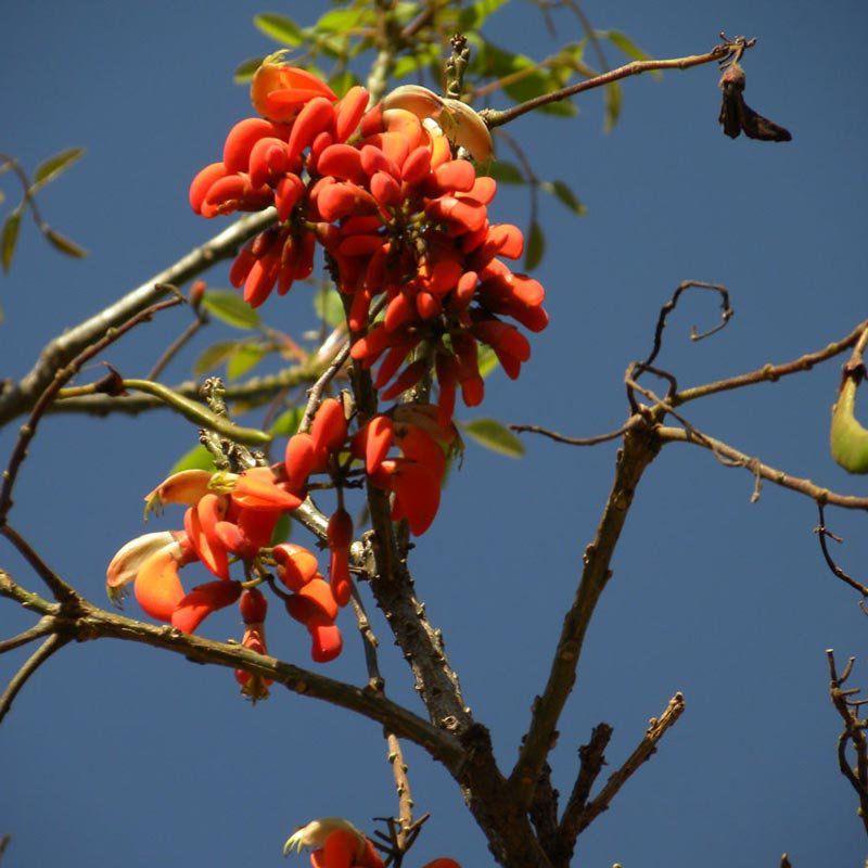 Muda de Erythrina Falcata - Eritrina Bico de Papagaio