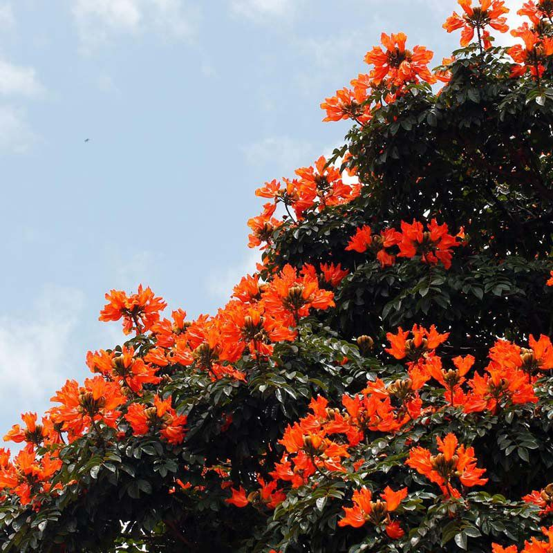 Muda de Espatódea - Spathodea campanulata