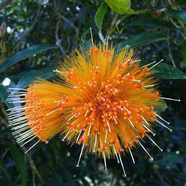 Muda de Estífea Amarela - Stifftia chrysantha