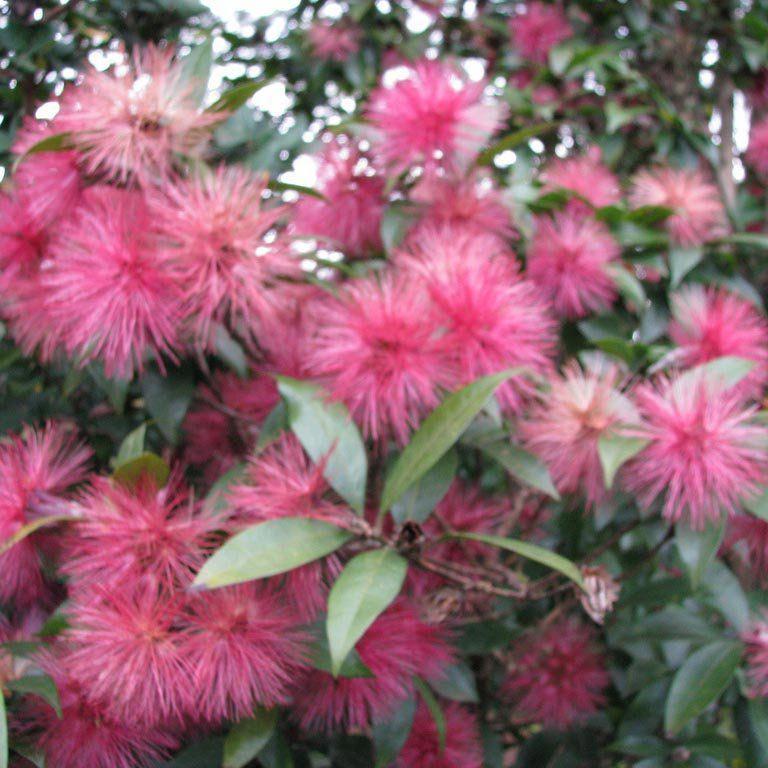 Muda de Estífea Vermelha - Stifftia grazielae