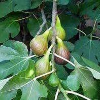 Muda de Figo Bronzeado - Produz em 1 ano