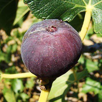 Muda de Figo Roxo de Valinhos - Produz em 1 ano