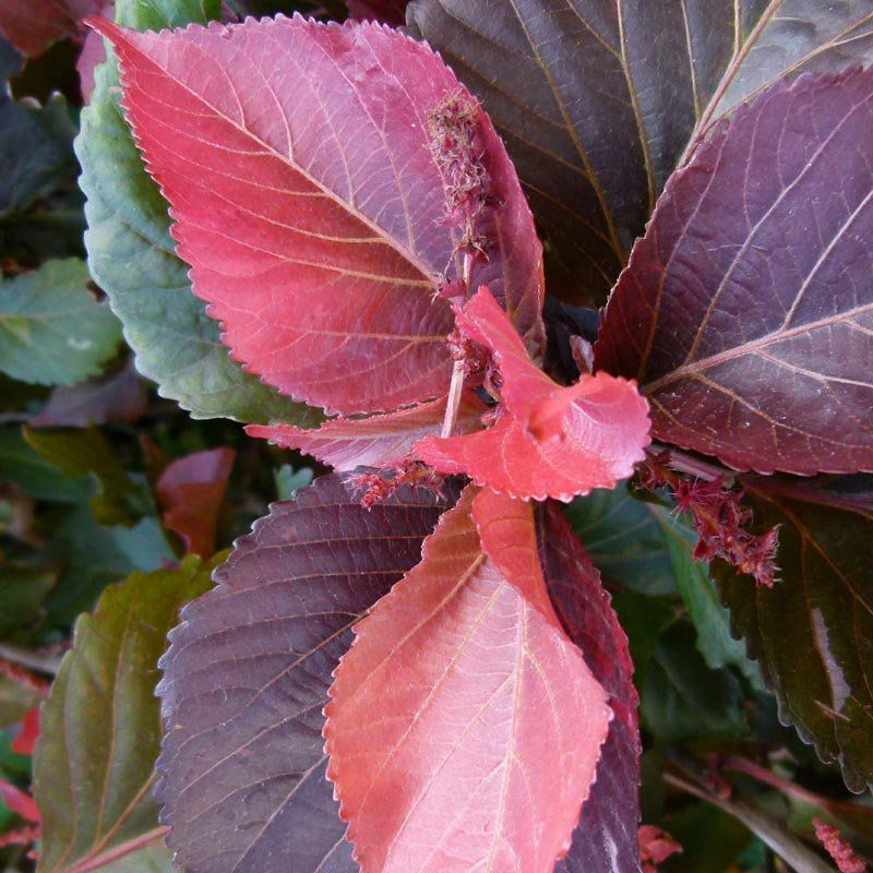 Muda de Flamengueira - Acalypha wilkesiana