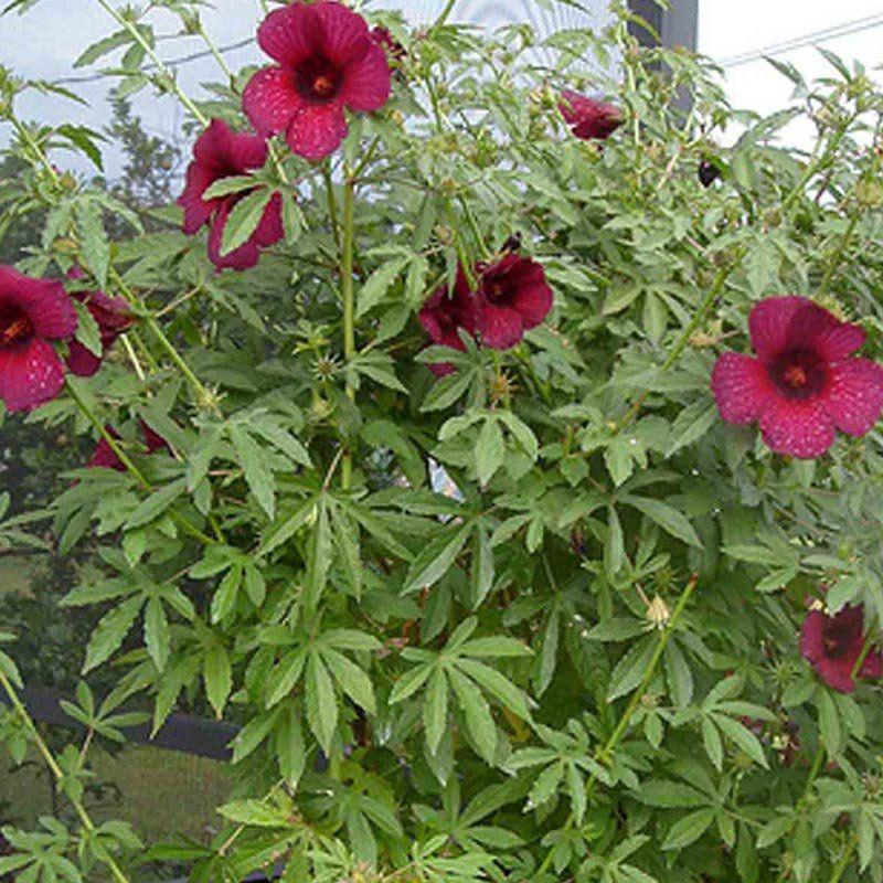 Muda de Flor da Jamaica - Hibiscus Cannabinus