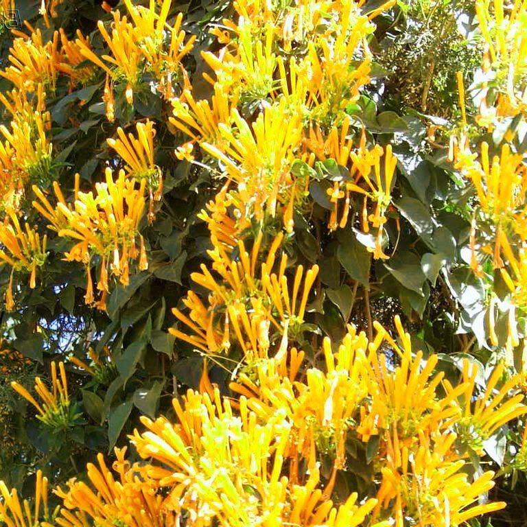 Muda de Flor de São João Amarela
