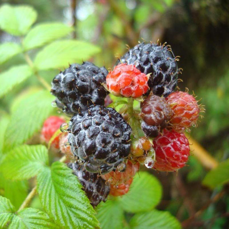 Muda de Framboesa Raspberry