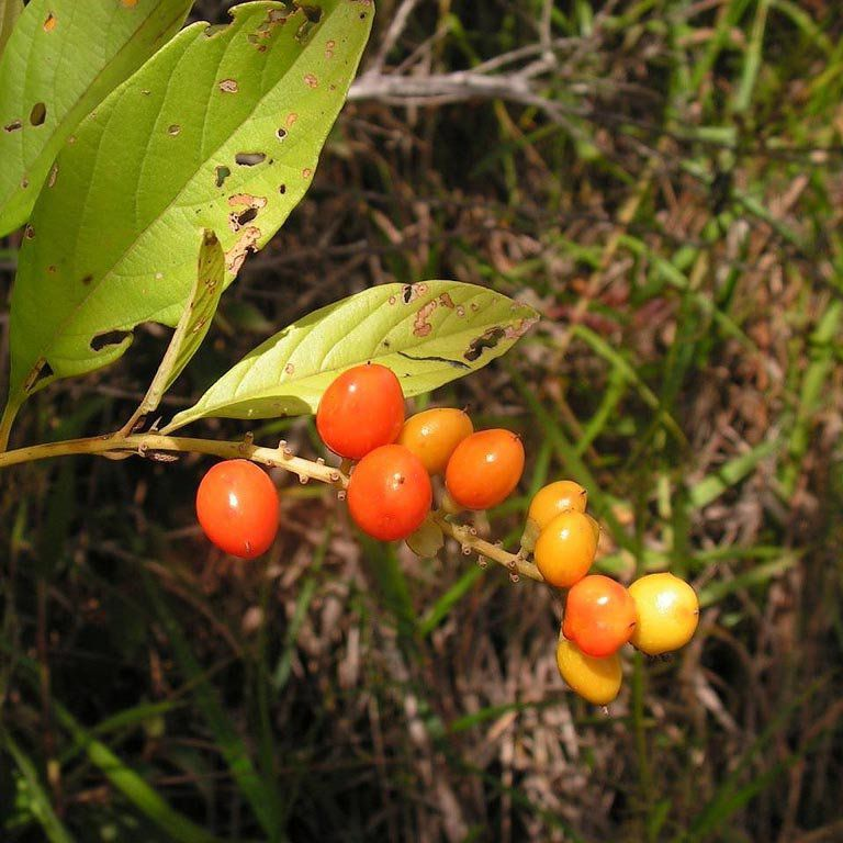 Muda de Fruta do Tucano