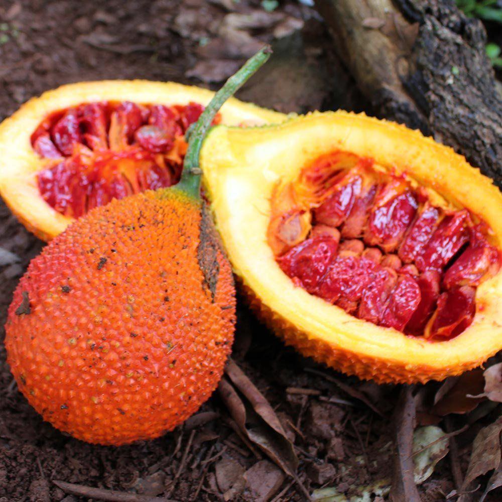 Muda de Gac Fruit - Momordica Conchinchinensis