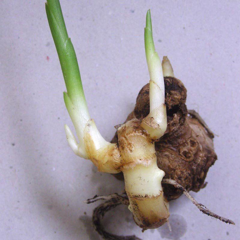 Muda de Gengibre - Mangarataia Lírio - Zingiber officinale