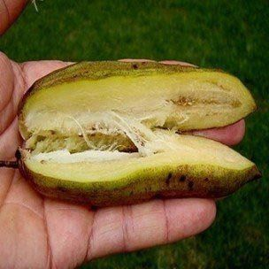 Muda de Guajilote Fruit