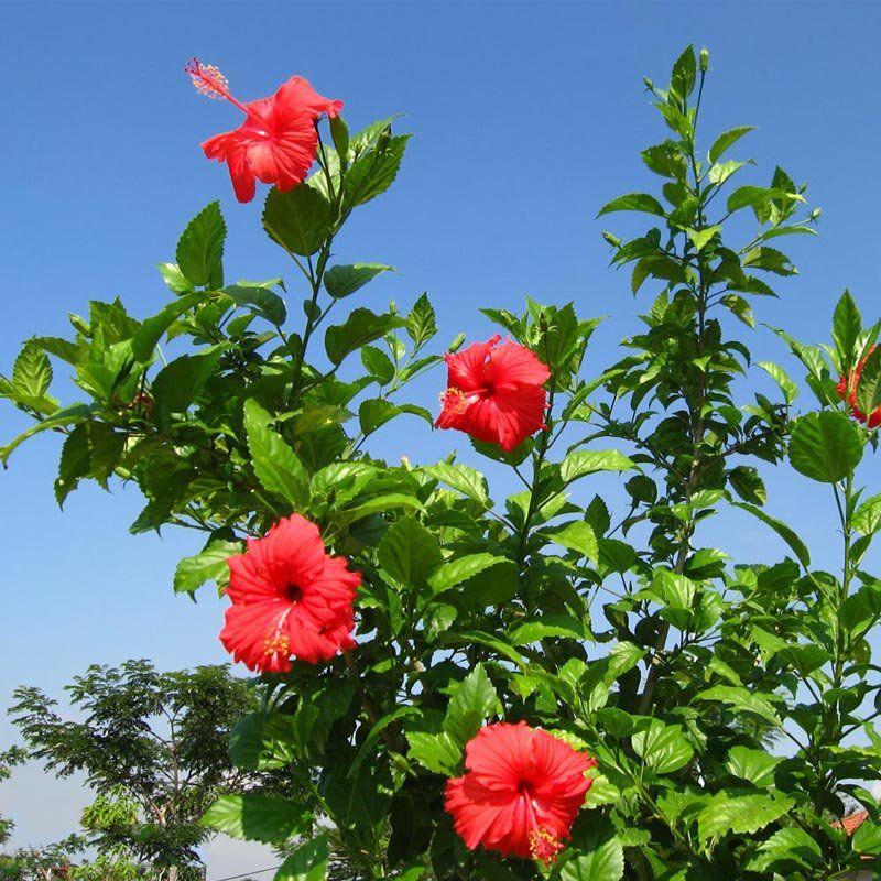 Muda de Hibisco - Hibiscus rosa-sinensis
