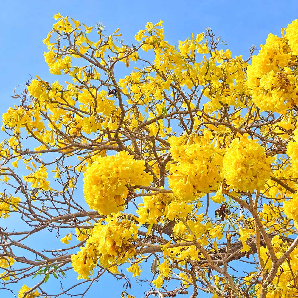 Muda de Ipê Amarelo para Paisagismo - Tabebuia chrysotricha