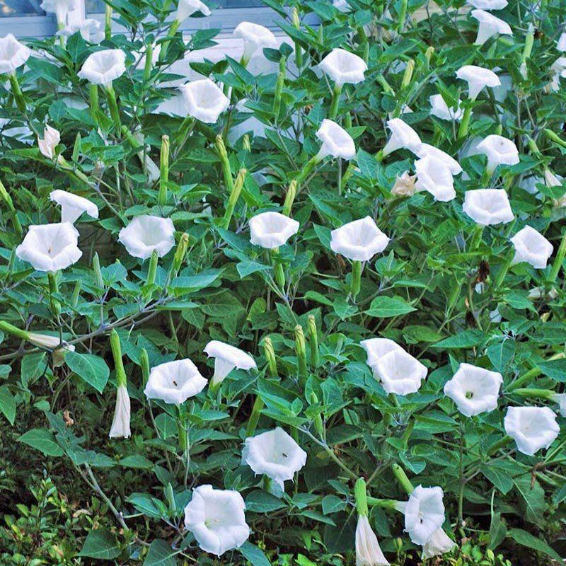 Muda de Ipoméia Alba - Ipomoea Alba - Flor Boa Noite