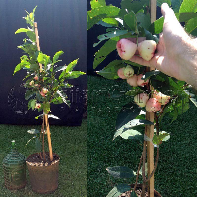 Muda de Jambo Rosa - Syzygium Samarangense