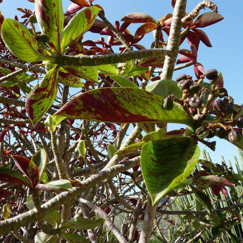 Muda de Janaúba - Synadenium Grantii