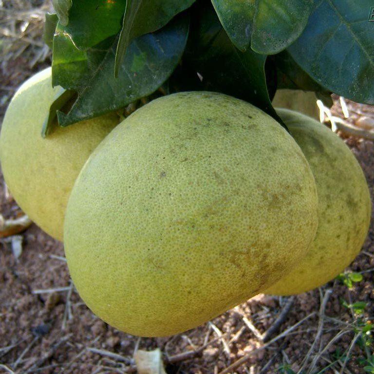 Muda de Laranja Zamboa - Deliciosa para Doces