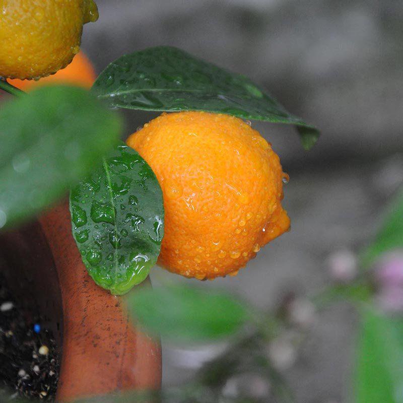 Muda de Limão Cravo