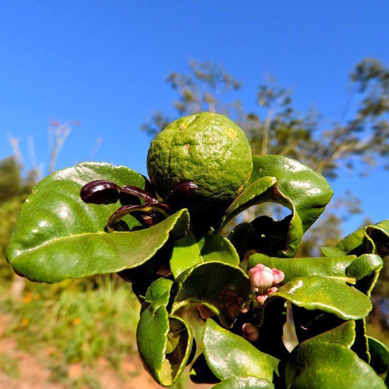 Muda de Limão Kafir - Enxertada