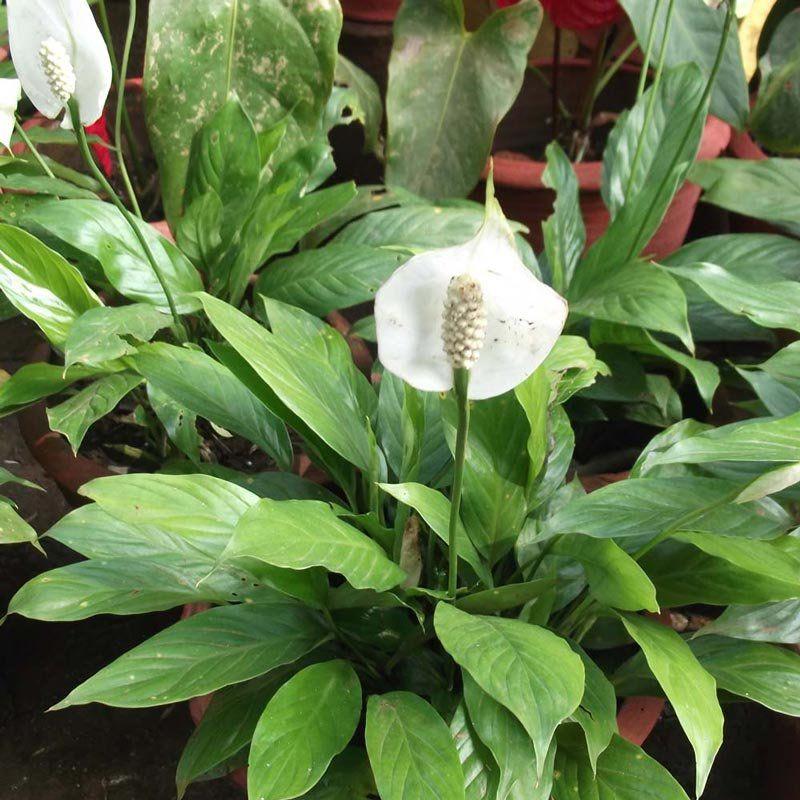 Muda de Lírio da Paz Gigante - Bandeira Branca - Spathiphyllum Cannifolium