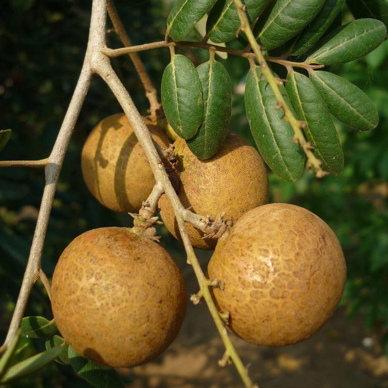 Muda de Longan Gigante do Hawai
