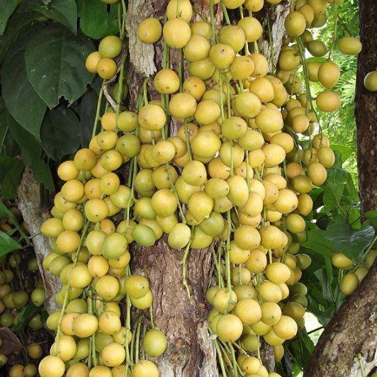Muda de Mafai ou Uva Birmanesa - Baccaurea ramiflora